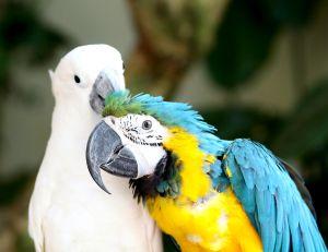 Выбор пары для попугая
