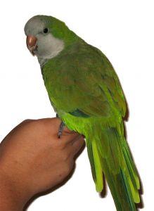 Ожирение у попугая