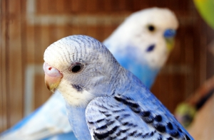 селекция волнистых попугаев